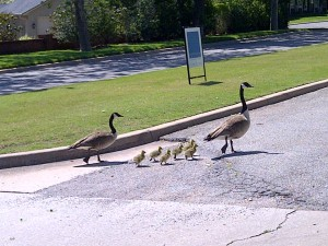 Make Way Ducklings
